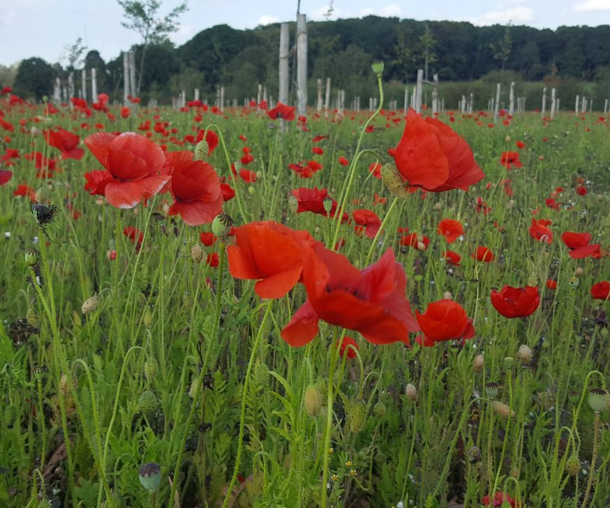 A field of red poppies in Peace Park, Polygon Wood